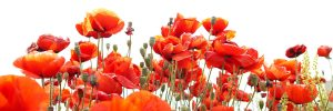 red poppies - Canmore Legion, Canmore, Alberta